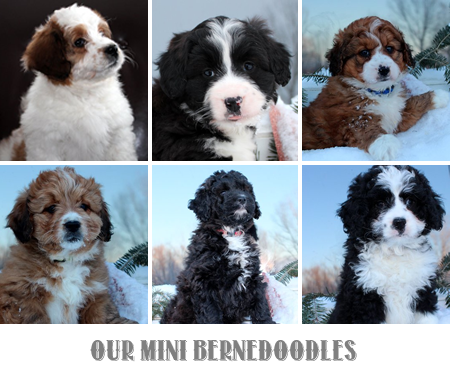Mohr Over Kennels Bernese Mountain Dogs And Miniature