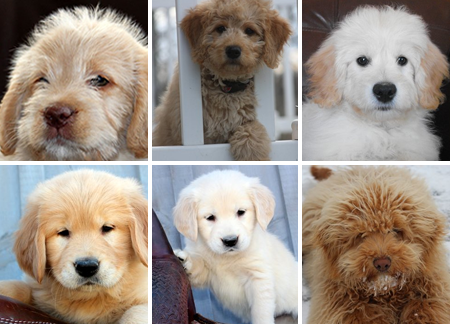 Mohr Over Kennels Golden Retrievers And Miniature Goldendoodles